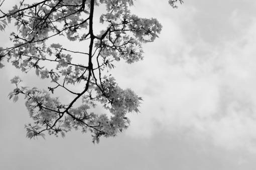 桜 さくら 春 空 植物 木 白黒 モノクロ モノクローム