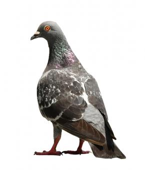 たたずむ鳩の写真