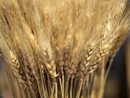 麦 小麦 大麦 穀物 TPP ライ麦 飼料 輸入 輸出 貿易 パン ビール 原料 麺類 アルコール アレルギー 家畜 収穫 ハーベスト 生産 農家 ファーム 畑 農業 農林水産省 流通 麦芽 ムギ 小麦粉 品種