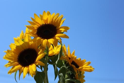 ひまわり 青空 夏 真夏 夏休み 快晴 雲一つない 夏の空 夏の花 黄色 花 風景 空 植物 晴れ 自然 向日葵 コピースペース 屋外 ヒマワリ 花びら 葉 青色 大空