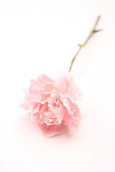 花 カーネーション 母の日 ピンク バック コピースペース 淡い 年中行事 切り花 植物 かわいい イベント 一本 一輪