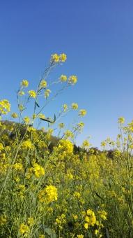 花 植物 緑 みどり グリーン 雑草 アブラナ 菜の花 黄色 空 ピーカン 青空 晴れ 外 屋外 公園 うららか 気持ちいい 素敵 きれい たくさん 風 のびのび 春 日本 広場 散歩 おさんぽ すがすがしい