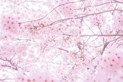 桜の花アップ22の写真