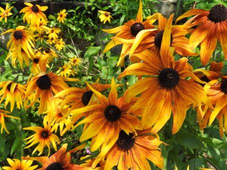 花 夏の花 黄色い花 黄色 植物 夏 初夏 7月 田舎 いなか 材料 素材 背景 風景 自然 横 たくさん