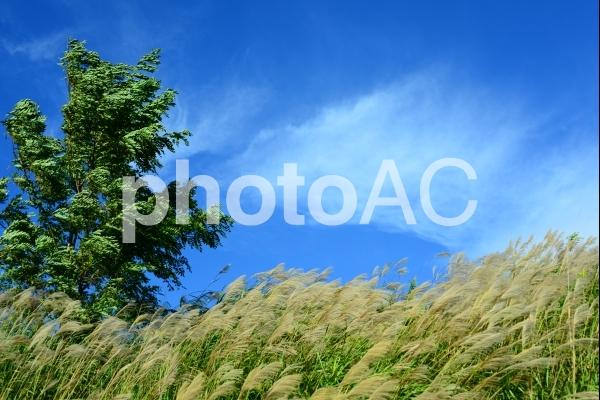ススキ 強風の写真