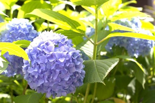 hydrangea あじさい 紫陽花 群青 紫 青 葉 緑 六月 梅雨 晴れ 快晴 路上 植物 花 風景 アップ