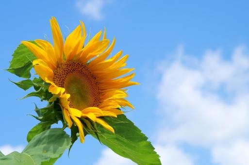 真夏 元気 暑い サンフラワー ひまわり ヒマワリ 向日葵 花 植物 黄色 夏 青空 太陽 葉 緑 鮮やか 白い雲 雲 白 ブルースカイ スカイ sky 自然 風景 背景 空多め 花と空 ひまわりと空 空