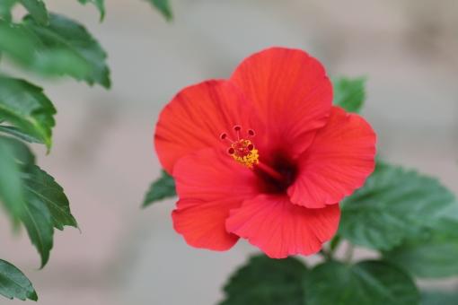 ハイビスカス はいびすかす 夏 赤 花 赤い花 夏の花 暑い あつい 植物 お花 hibiscus red summer 素材 写真 jpg フリー フリー画像 フリー素材 熱帯 photo 自然 パス パス付き 七月 八月 7月 8月 7月 8月
