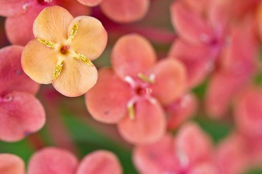 花 花びら 密集 多い 集まる 赤 朱紅色 鮮やか 可愛い 綺麗 めしべ おしべ 植物 自然 サンタンカ 山丹花 アカネ科 熱帯 南国 フラワー アップ ピンボケ ぼける 三段花 常緑低木 花木 半球状 マレーシア 中国南部 風景 景色 屋外