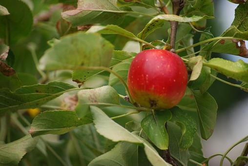 自然 風景 環境 植物 花 草花 観葉 手入れ 栽培 世話 水やり 植える 育てる ベランダ 庭 林 公園 花壇 癒し 咲く 開花 成長 土 観察 アップ たくさん きれい 美しい かわいい りんご 果実 果物 木