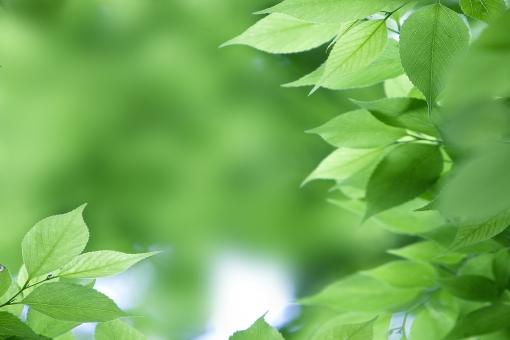自然 風景 植物 樹木 木の葉 葉っぱ 緑の葉っぱ 新緑 若葉 初夏 初夏イメージ 新芽の季節 夏 光 光透過光 新鮮な 暑中見舞い ポストカード コピースペース バックスペース 待ち受け画像 背景 テクスチャー 木漏れ日 森林 公園 みずみずしい 季節感 目に青葉 四月・五月 六月・七月・八月 爽やかイメージ