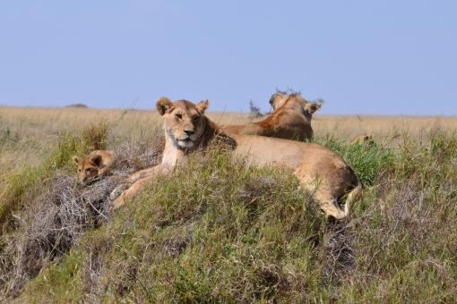 ライオン 家族 タンザニア 海外 赤ちゃん お父さん お母さん 野生 動物 lion family Tanzania baby wild Africa アフリカ 背景 らいおん 青空 風景