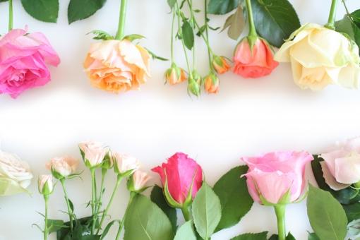薔薇のフレーム 2の写真