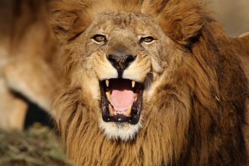「ライオン 無料素材」の画像検索結果