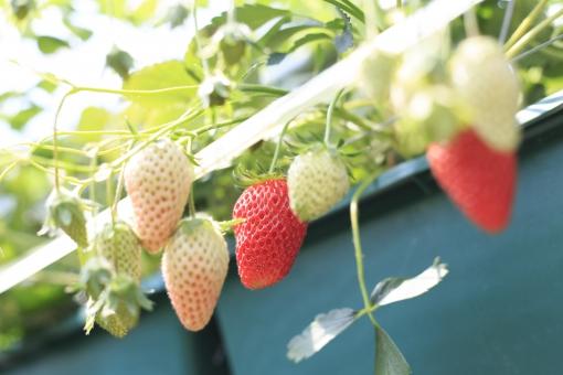 いちご イチゴ 苺 苺狩り イチゴ狩り いちご狩り フルーツ 植物 実 収穫 ハウス 果物 イベント 春