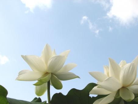 蓮 ハス はす 蓮の花 蓮の葉 ハスの花 レンコン れんこん 蓮根 法事 お墓参り お盆 お彼岸 7月 8月 夏の花 日本的 仏教 仏 初夏 花 花びら 幻想的 華やか 厳か 真夏 池 蓮池 白 開花 つぼみ 蕾 和風 植物 美しい うつくしい 安らぎ やすらぎ 緑 暑中見舞い 日本の夏 イメージ 背景 壁紙 空 青空 夏空 夏の空 蓮と空 そら
