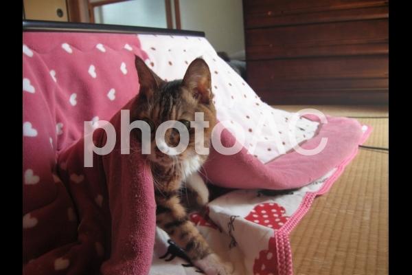 こたつから出た猫 横向きの写真