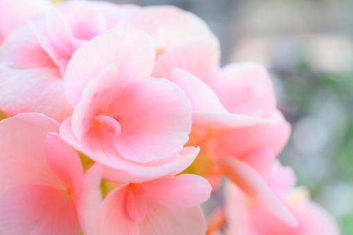 リーガースベゴニア リーガスベゴニア ベゴニア べごにあ エラチオールベゴニア リーガルベゴニア シュウカイドウ科 ピンク クローズアップ アップ ふんわり ふわり 背景 バックグラウンド 壁紙 コピースペース 文字スペース グラデーション 淡い エレガント 綺麗 花 植物 春 秋 3月 4月 5月 9月 10月