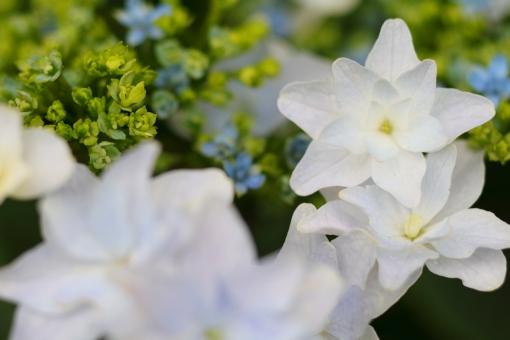 アジサイ 紫陽花 あじさい 花 植物 マクロ 拡大 余白 ピンク 紫 6月 雨 梅雨 色合い 湿度 天気 パステル 接写 ガクアジサイ 白 横位置 清潔