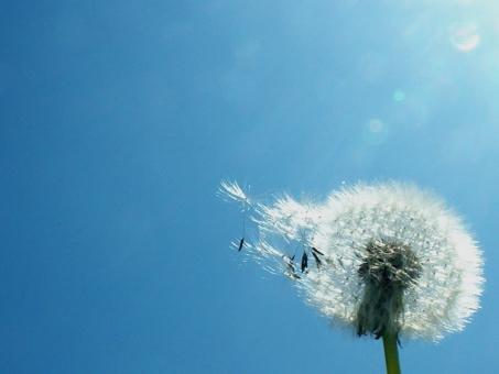 たんぽぽ タンポポ 綿毛 植物 種 たね タネ 自然 景色 風景 ブルー 日差し 晴れ 青 野草 雑草 蒲公英 春 わたげ 光 ひかり 光り ヒカリ 空 青空 青い空 ブルースカイ スカイ sky bluesky 晴天 快晴