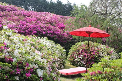 三室戸寺 京都 宇治 花 つつじ ピンク 桃色 紫 白 緑 庭園 木 植物 自然 風景 景色 春 観光 観光地 旅行 見物 見頃 花見 満開 綺麗 鮮やか 休憩 休憩処 和傘