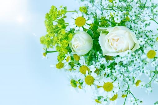 グリーン 緑 植物 自然 花 バラ ばら 薔薇 華やか 豪華 ゴージャス エレガント 可愛い かわいい 可憐 ローズ 白 白薔薇 白バラ カモミール ハーブ 光 輝き 観葉植物 ブーケ 花束 背景 壁紙 水色