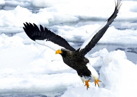 空 動物 鳥 野鳥 北海道 観光 白い 冷たい 氷 海面 生物 生き物 鳥類 猛禽類 猛禽 水面 コピースペース 渡り鳥 晴天 青い 道東 渡る 知床 ネイチャー 氷山 流氷 オオワシ 大自然 羅臼 北極 知床半島 オホーツク海 冬景色 ラウス 雄姿 飛ぶ 舞う