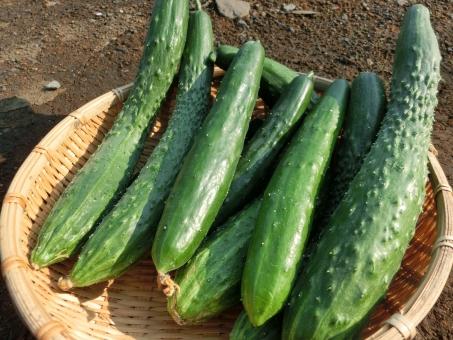 きゅうり キュウリ 胡瓜 ザル 夏野菜 野菜 数本 複数 畑 家庭菜園 土 新鮮 みずみすしい 艶 採りたて 収穫 菜園 栽培 たくさん 盛る イボイボ 夏きゅうり 夏キュウリ 緑