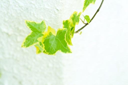 葉 緑  新緑  日本  自然 植物 屋外 壁紙 背景 背景素材 バックグラウンド 光  環境 エコ   さわやか 爽やか 初夏 若葉 蔦 つた ツタ つる植物 壁