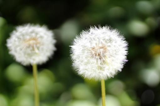 たんぽぽ タンポポ 花 植物 綿毛 ふわふわ 緑 綿 そよ風 風に舞う わた毛 わたげ 明るい 種 吹く 風 春 優しい やわらかい