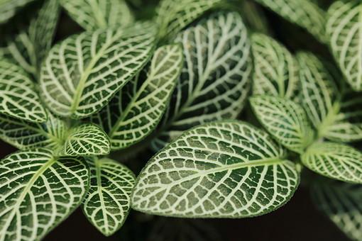 茎 葉 葉っぱ 葉脈 模様 自然 野生 アップ クローズアップ 植物 ガーデニング 手入れ 園芸 花屋 綺麗 緑 みどり 伸びる 広がる 生きる 葉緑素 南国 南国植物 観葉植物