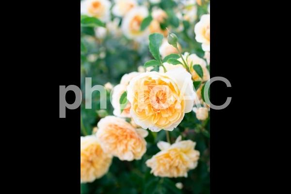 咲き誇る黄色いバラ〔縦向き〕の写真