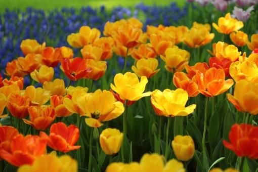 チューリップ 可愛い ランドセル 入学 入学式 入園 カラフル 楽しい ワクワク 元気 可憐 春 4月 お花畑 花壇 園芸 花 明るい 前向き オレンジ色 キラキラ