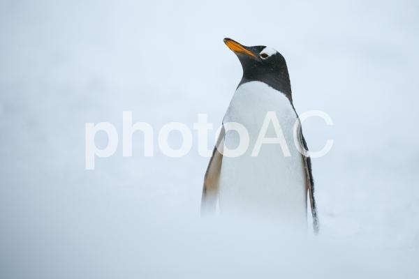 雪の中のペンギンの写真
