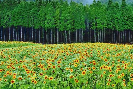 向日葵の郷の写真