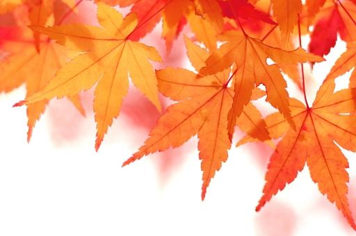 もみじ 紅葉 モミジ 秋 季節 植物 コピースペース オータム autumn 木 枝 赤 和風 紅葉狩り 落葉 日本