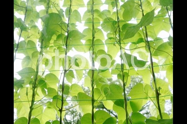 西洋アサガオ#7 グリーンカーテンの写真