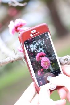 梅 うめ 梅 桃色 春 冬 花 満開 バラ科 Plum blossom japan スマートフォン スマホ 撮影 写メ 写メール 女性 女子 iPhone SNS Facebook twitter instgram 共有 シェア 拡散 手 指 スマホで撮影