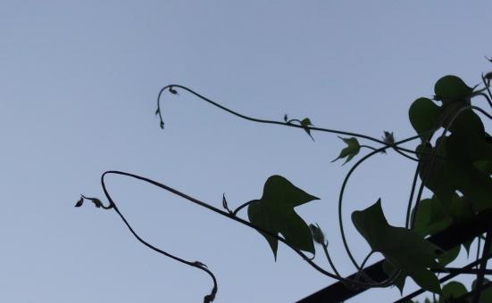 朝顔の葉とつる 逆光の写真