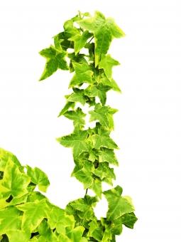自然 植物 ナチュラル 樹木 木 葉っぱ 木の葉 新緑 緑 グリーン 初夏 夏 爽やか クリーンイメージ 木漏れ日 光 透過光 アイビー パス抜き 切抜き コピースペース つた ツタ フレーム 飾り枠 背景 バックグランド テクスチャー 5月 枠