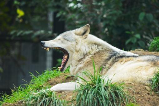 狼 オオカミ シンリンオオカミ 動物園 夏 あくび 眠い