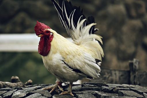 自然   風景   スナップ  動物  生き物  動物園  見学  生態  生活  人気  人気者  おもしろい  かわいい 鳥 ニワトリ 鶏 雄鶏 とさか 卵 鶏卵 立派 雄 ブロイラー 食料 食品 栄養 チキン