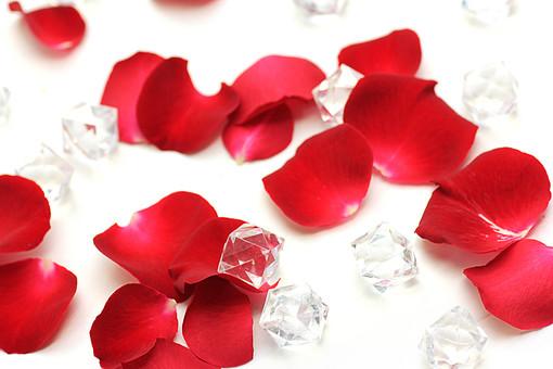 ばら バラ 花びら 深紅 花 愛 美 愛情 情熱 熱烈な恋 植物 フラワー 種子植物 花弁 花びら 生花 赤い花 5月 6月 10月 11月 ローズ レッドローズ 白背景 白バック ホワイトバック 散らばる