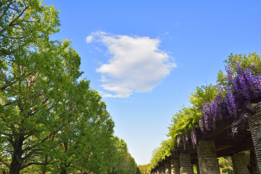 青空 空 晴れ 春 雲 藤 花 花びら 藤棚 植物 イチョウ 樹木 背景 背景素材 緑 グリーン 青