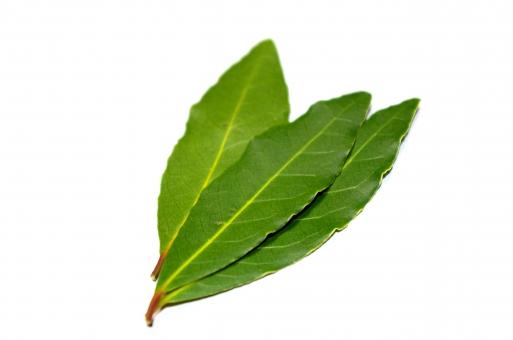 月桂樹 ゲッケイジュ ローリエ ローレル ベイリーフ 香辛料 香り クスノキ科 植物 ハーブ 葉 緑 白抜き
