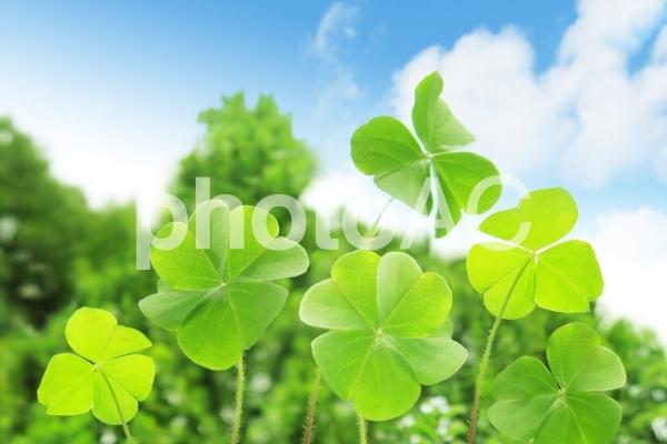 四つ葉のクローバーと青空の写真