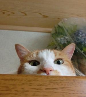 顔 猫 ネコ 視線 見つめる アップ ピンクの鼻 表情 覗き見 監視 見下ろす カメラ目線 見張り 可愛い かわいい くつろぐ 寛ぐ リラックス ほのぼの 茶白 考え事 考え中 悩み事 悩み中 うーん 退屈 目を開けた 家猫 室内 にゃらん