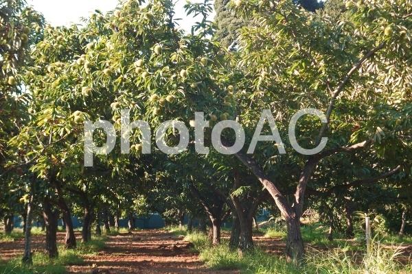 秋の訪れ・栗林 #11の写真