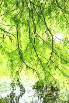 自然 風景 景色 環境 スナップ 旅行 散歩 公園 森林 緑 林 かわいい 小さい 春 夏 季節 葉っぱ 植物 美しい きれい シルエット 栽培 野草 草花 癒し 柳 たれる しだれ柳 木陰 木漏れ日