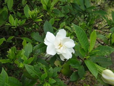 自然 風景 植物 花 オオヤエクチナシ 五色台 香川県
